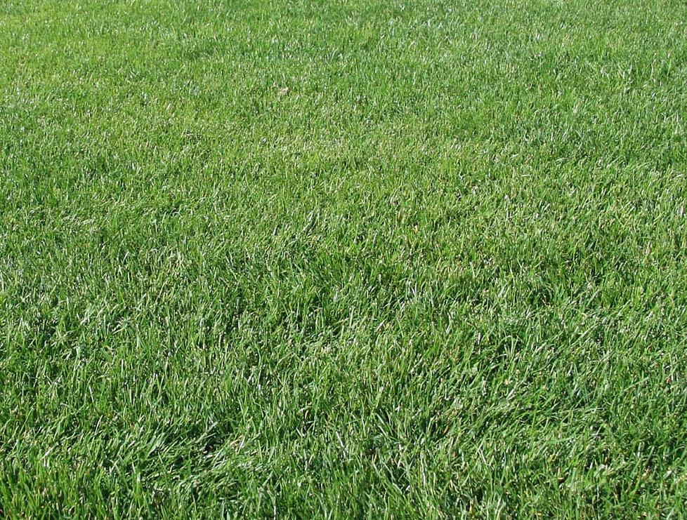 Planter du gazon sans rouleau la cration duune pelouse prparation du terrain pour semer du - Semer gazon sans rouleau ...